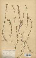 https://bibliotheque-virtuelle.bu.uca.fr/files/fichiers_bcu/Caryophyllaceae_Dianthus_gallicus_CLF120977.jpg