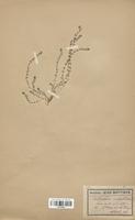 https://bibliotheque-virtuelle.bu.uca.fr/files/fichiers_bcu/Caryophyllaceae_Illecebrum_verticillatum_CLF120915.jpg