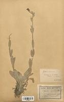 https://bibliotheque-virtuelle.bu.uca.fr/files/fichiers_bcu/Caryophyllaceae_Lychnis_coronaria_CLF120951.jpg