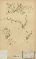 https://bibliotheque-virtuelle.bu.uca.fr/files/fichiers_bcu/Caryophyllaceae_Moehringia_muscosa_CLF113011.jpg
