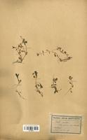 https://bibliotheque-virtuelle.bu.uca.fr/files/fichiers_bcu/Caryophyllaceae_Montia_rivularis_CLF120944.jpg