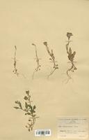 https://bibliotheque-virtuelle.bu.uca.fr/files/fichiers_bcu/Caryophyllaceae_Silene_glauca_CLF120994.jpg
