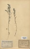 https://bibliotheque-virtuelle.bu.uca.fr/files/fichiers_bcu/Chenopodiaceae_Sueda_maritima_CLF113053.jpg