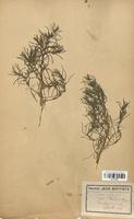https://bibliotheque-virtuelle.bu.uca.fr/files/fichiers_bcu/Chenopodiaceae_Sueda_splendens_CLF113052.jpg