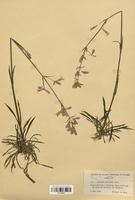 https://bibliotheque-virtuelle.bu.uca.fr/files/fichiers_bcu/Caryophyllaceae_Viscaria_vulgaris_CLF120948.jpg