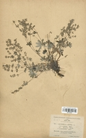 https://bibliotheque-virtuelle.bu.uca.fr/files/fichiers_bcu/Rosaceae_Alchemilla_alpina_saxatile_CLF113146.jpg