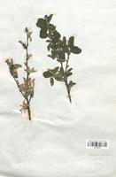 https://bibliotheque-virtuelle.bu.uca.fr/files/fichiers_bcu/Rosaceae_Amelanchier_rotundifolia_CLF113175.jpg