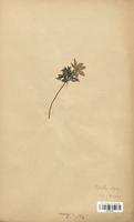 https://bibliotheque-virtuelle.bu.uca.fr/files/fichiers_bcu/Rosaceae_Potentilla_alpina_CLF113191.jpg