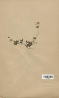 https://bibliotheque-virtuelle.bu.uca.fr/files/fichiers_bcu/Rosaceae_Potentilla_aurea_CLF113192.jpg