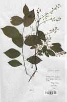 https://bibliotheque-virtuelle.bu.uca.fr/files/fichiers_bcu/Malaceae_Prunus_padus_CLF113209.jpg