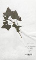 https://bibliotheque-virtuelle.bu.uca.fr/files/fichiers_bcu/Grossulariaceae_Ribes_nigrum_CLF113134.jpg