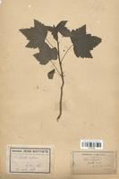 https://bibliotheque-virtuelle.bu.uca.fr/files/fichiers_bcu/Grossulariaceae_Ribes_rubrum_CLF113135.jpg
