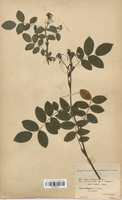 https://bibliotheque-virtuelle.bu.uca.fr/files/fichiers_bcu/Rosaceae_Rosa_azfeliana_CLF113118.jpg