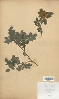 https://bibliotheque-virtuelle.bu.uca.fr/files/fichiers_bcu/Rosaceae_Rosa_tomentosa_CLF113113.jpg