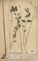 https://bibliotheque-virtuelle.bu.uca.fr/files/fichiers_bcu/Rosaceae_Sanguisorba_officinalis_CLF113078.jpg