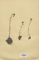https://bibliotheque-virtuelle.bu.uca.fr/files/fichiers_bcu/Saxifragaceae_Saxifraga_aizoon_CLF113155.jpg