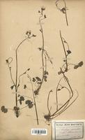 https://bibliotheque-virtuelle.bu.uca.fr/files/fichiers_bcu/Saxifragaceae_Saxifraga_granulata_CLF113154.jpg