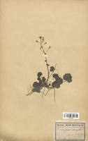 https://bibliotheque-virtuelle.bu.uca.fr/files/fichiers_bcu/Saxifragaceae_Saxifraga_rotundifolia_CLF113157.jpg