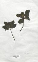 https://bibliotheque-virtuelle.bu.uca.fr/files/fichiers_bcu/Malaceae_Sorbus_chamaespilus_CLF113081.jpg