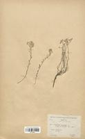 https://bibliotheque-virtuelle.bu.uca.fr/files/fichiers_bcu/Brassicaceae_Alyssum_alpestre_gerardi_CLF113244.jpg