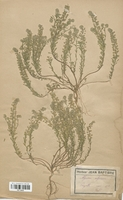 https://bibliotheque-virtuelle.bu.uca.fr/files/fichiers_bcu/Brassicaceae_Alyssum_calycinum_CLF113243.jpg