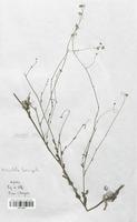 https://bibliotheque-virtuelle.bu.uca.fr/files/fichiers_bcu/Brassicaceae_Biscutella_laevigata_CLF113297.jpg