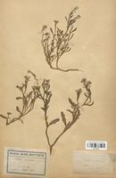 https://bibliotheque-virtuelle.bu.uca.fr/files/fichiers_bcu/Brassicaceae_Cakile_maritima_CLF113314.jpg