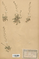https://bibliotheque-virtuelle.bu.uca.fr/files/fichiers_bcu/Brassicaceae_Capsella_bursa-pastoris_rubellum_CLF113223.jpg