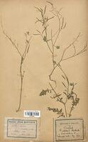 https://bibliotheque-virtuelle.bu.uca.fr/files/fichiers_bcu/Brassicaceae_Diplotaxis_bracteata_CLF113339.jpg