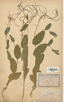 https://bibliotheque-virtuelle.bu.uca.fr/files/fichiers_bcu/Brassicaceae_Erysimum_perfoliatum_CLF113232.jpg