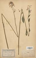 https://bibliotheque-virtuelle.bu.uca.fr/files/fichiers_bcu/Brassicaceae_Hesperis_matronalis_CLF113231.jpg