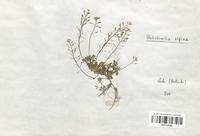 https://bibliotheque-virtuelle.bu.uca.fr/files/fichiers_bcu/Brassicaceae_Hutchinsia_alpina_CLF113235.jpg