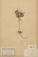 https://bibliotheque-virtuelle.bu.uca.fr/files/fichiers_bcu/Brassicaceae_Isatis_alpina_CLF113313.jpg