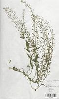 https://bibliotheque-virtuelle.bu.uca.fr/files/fichiers_bcu/Brassicaceae_Lepidium_campestre_CLF113329.jpg