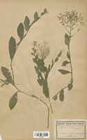 https://bibliotheque-virtuelle.bu.uca.fr/files/fichiers_bcu/Brassicaceae_Lepidium_draba_CLF113332.jpg