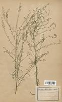 https://bibliotheque-virtuelle.bu.uca.fr/files/fichiers_bcu/Brassicaceae_Lepidium_graminifolium_CLF113328.jpg