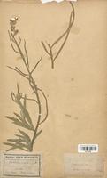 https://bibliotheque-virtuelle.bu.uca.fr/files/fichiers_bcu/Brassicaceae_Matthiola_sinuata_CLF113230.jpg