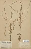 https://bibliotheque-virtuelle.bu.uca.fr/files/fichiers_bcu/Brassicaceae_Myagrum_perfoliatum_CLF113315.jpg