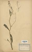 https://bibliotheque-virtuelle.bu.uca.fr/files/fichiers_bcu/Brassicaceae_Nasturtium_amphibium_CLF113270.jpg