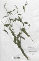 https://bibliotheque-virtuelle.bu.uca.fr/files/fichiers_bcu/Brassicaceae_Rorippa_austriaca_CLF113265.jpg