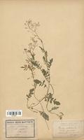 https://bibliotheque-virtuelle.bu.uca.fr/files/fichiers_bcu/Brassicaceae_Rorippa_nasturtioides_CLF113276.jpg