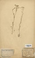 https://bibliotheque-virtuelle.bu.uca.fr/files/fichiers_bcu/Brassicaceae_Rorippa_pyrenaica_CLF113269.jpg