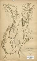 https://bibliotheque-virtuelle.bu.uca.fr/files/fichiers_bcu/Brassicaceae_Rorippa_sylvestris_CLF113266.jpg