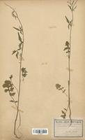 https://bibliotheque-virtuelle.bu.uca.fr/files/fichiers_bcu/Brassicaceae_Sisymbrium_officinale_CLF113318.jpg