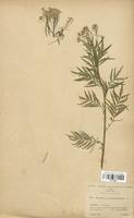 https://bibliotheque-virtuelle.bu.uca.fr/files/fichiers_bcu/Brassicaceae_Sisymbrium_tanacetifolium_CLF113317.jpg
