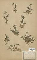 https://bibliotheque-virtuelle.bu.uca.fr/files/fichiers_bcu/Brassicaceae_Thlaspi_perfoliatum_CLF113304.jpg