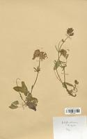 https://bibliotheque-virtuelle.bu.uca.fr/files/fichiers_bcu/Fabaceae_Anthyllis_vulnerarioides_CLF113403.jpg