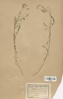 https://bibliotheque-virtuelle.bu.uca.fr/files/fichiers_bcu/Fabaceae_Astragalus_austriacus_CLF113435.jpg