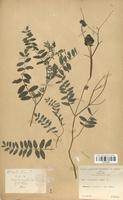 https://bibliotheque-virtuelle.bu.uca.fr/files/fichiers_bcu/Fabaceae_Astragalus_cicer_CLF113443.jpg