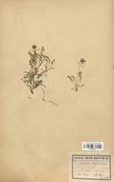 https://bibliotheque-virtuelle.bu.uca.fr/files/fichiers_bcu/Fabaceae_Astragalus_lapponicus_CLF113437.jpg